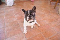 Bulldozer, chien Bouledogue français