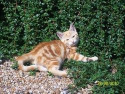 Forrest, chat Gouttière