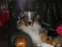 Eden, chien Berger australien