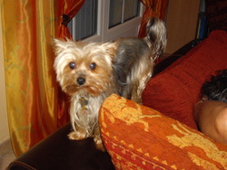 Buzz, chien Yorkshire Terrier