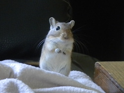 Roxy, rongeur Gerbille