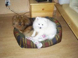 Pacha, chien Spitz allemand