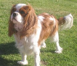 Pepito, chien Cavalier King Charles Spaniel