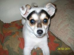 Gadji, chien Jack Russell Terrier