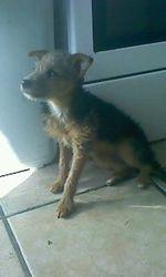 Falcon, chien Yorkshire Terrier