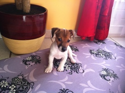 Shelby, chien Jack Russell Terrier