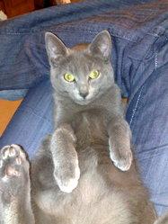 Détective, chat Chartreux