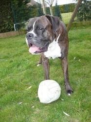 Spanky, chien Boxer