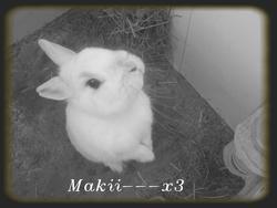 Maki, rongeur Lapin