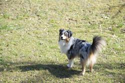 Diam's, chien Berger australien