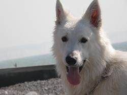 Apache, chien Berger blanc suisse