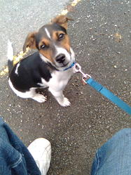 Cali, chien Jack Russell Terrier