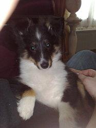 Fripouille Des Jardins De Becky, chien Berger des Shetland