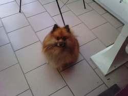 U-Ki, chien Spitz allemand