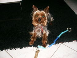 Billy, chien Yorkshire Terrier
