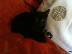Ghinzu, chat Européen