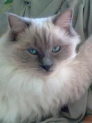 Fibie Du Chaudron, chat Ragdoll