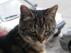 Poupina, chat Gouttière