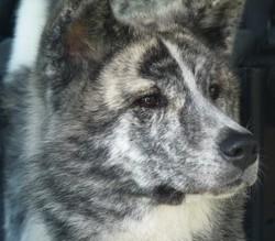 Eroi Etsuko, chien Akita Inu