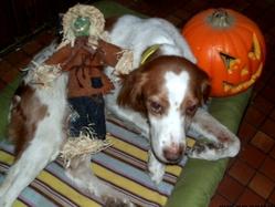 Twist, chien Épagneul breton