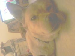 Corto, chien Labrador Retriever
