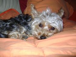 Xena, chien Yorkshire Terrier