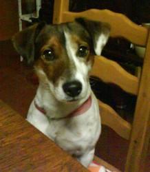 Erose, chien Jack Russell Terrier