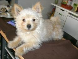 Linc, chien Chihuahua