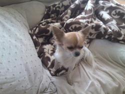 Justine, chien Chihuahua