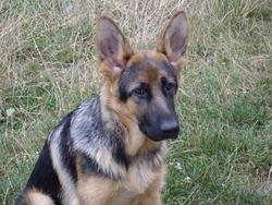 Eika, chien Berger allemand