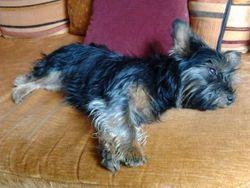 Joyce, chien Yorkshire Terrier
