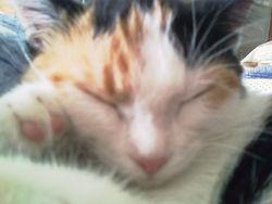 Canaille, chat Gouttière
