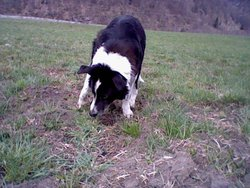 Lila, chien Border Collie