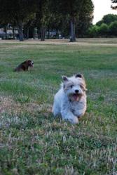 Julie, chien Coton de Tuléar