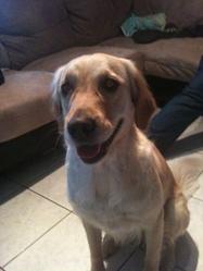 Daika, chien Golden Retriever