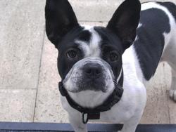 Daindy, chien Bouledogue français