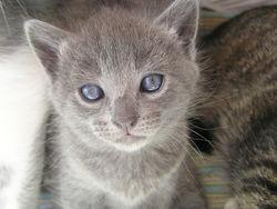 Chaussette, chat Chartreux