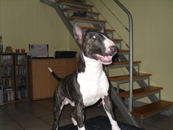 Paco, chien Bull Terrier