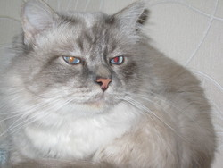 Crumble, chat Birman