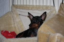 Bacskautcai Little Dark Angel, chien Pinscher