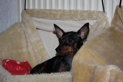 Bacskautcai Little Dark Angel, chien Pinscher