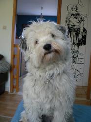 Titi, chien Terrier tibétain