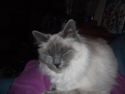 Moumoutte, chat Birman