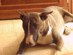 Canelle, chien Bull Terrier