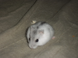 Bella, rongeur Hamster