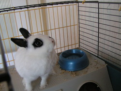 Dominette, rongeur Lapin