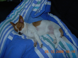 Emmy, chien Jack Russell Terrier