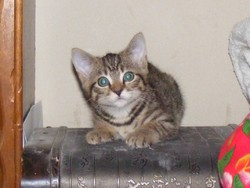 Furax, chat Européen