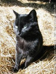 Biloute, chat Chartreux