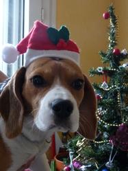 Malé, chien Beagle